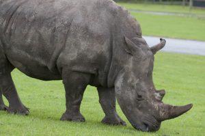 Rhino at West Midlands Safari Park