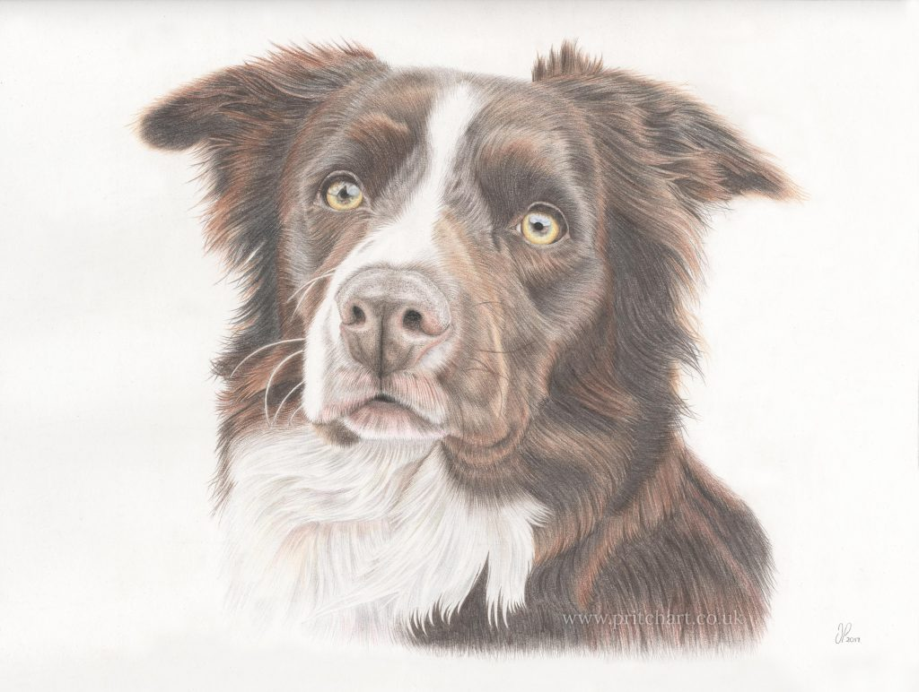 Border Collie drawing by Pritch Art