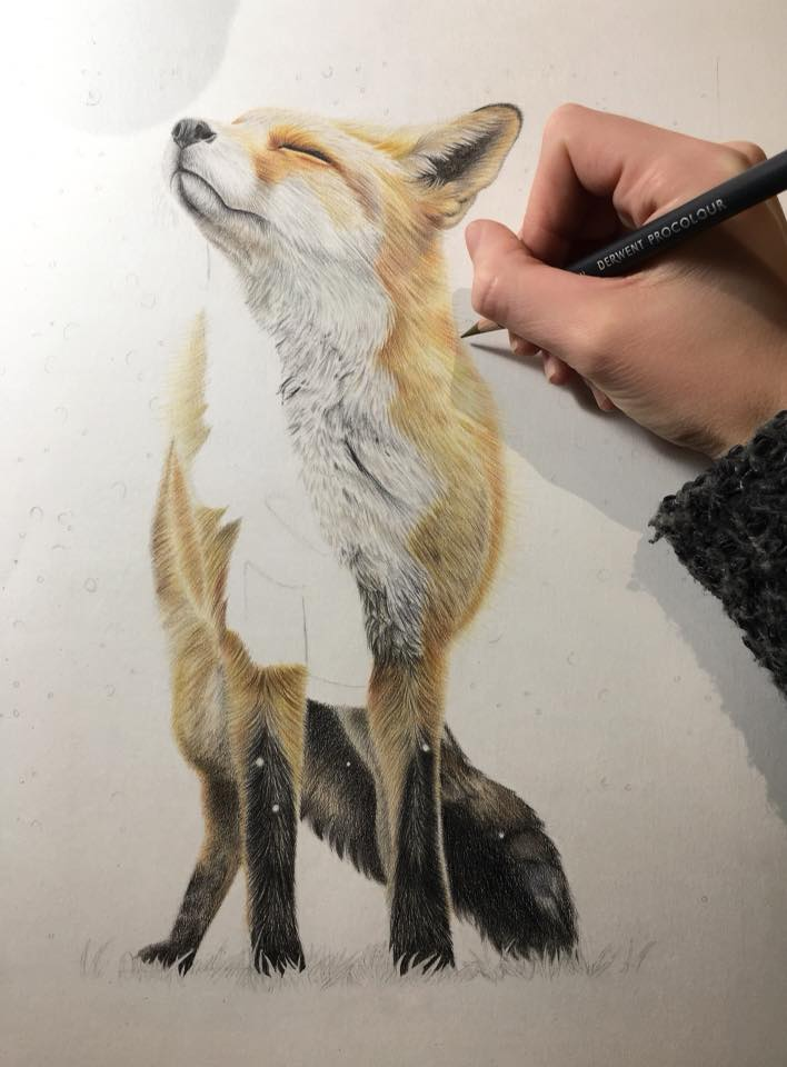 Fox drawing in Derwent pro colour pencils