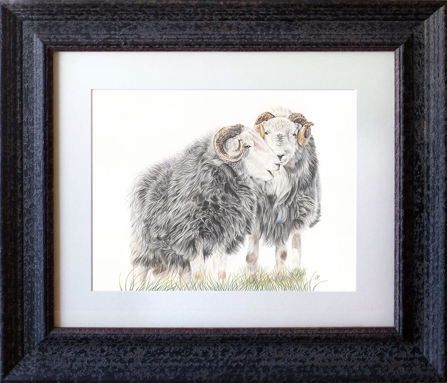 Herdwicks - Preview image  British Wildlife Art