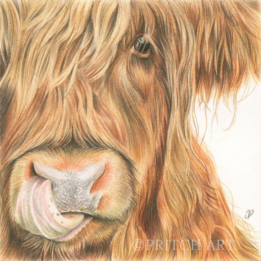 Highland Cow - Preview image  British Wildlife Art