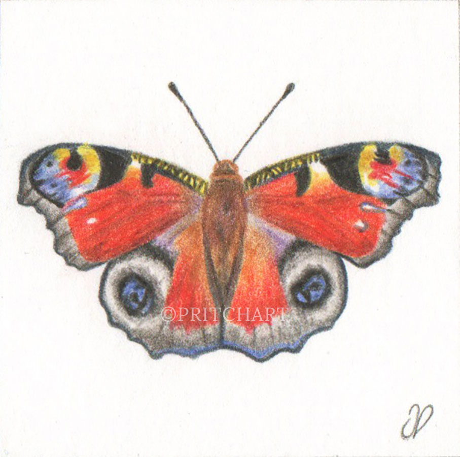Peacock Butterfly - Preview image  British Wildlife Art