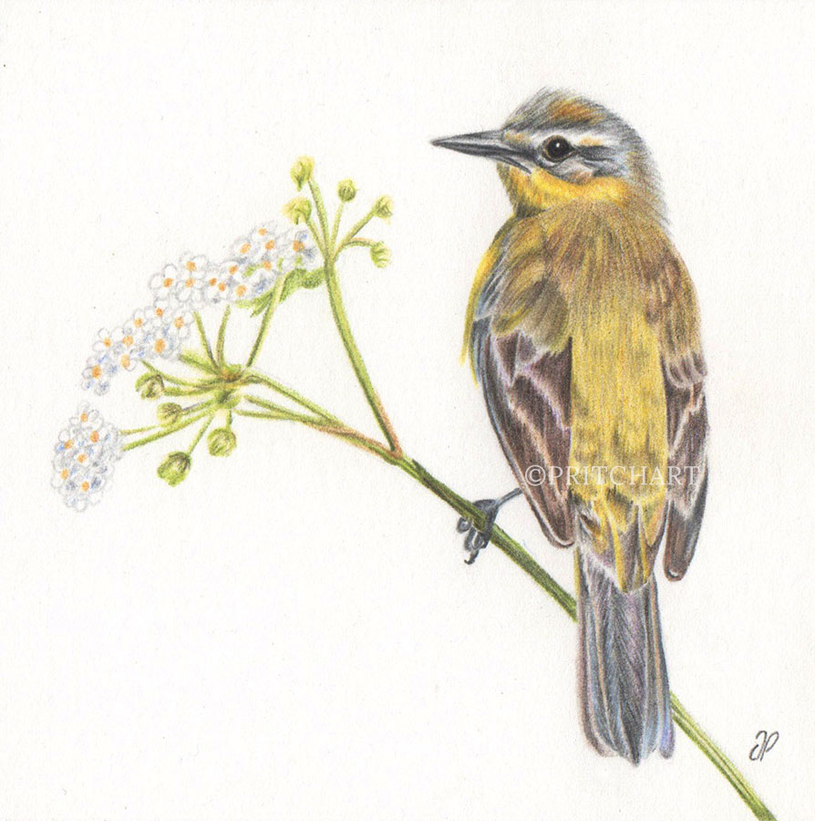 Yellow Wagtail - Preview image  British Wildlife Art