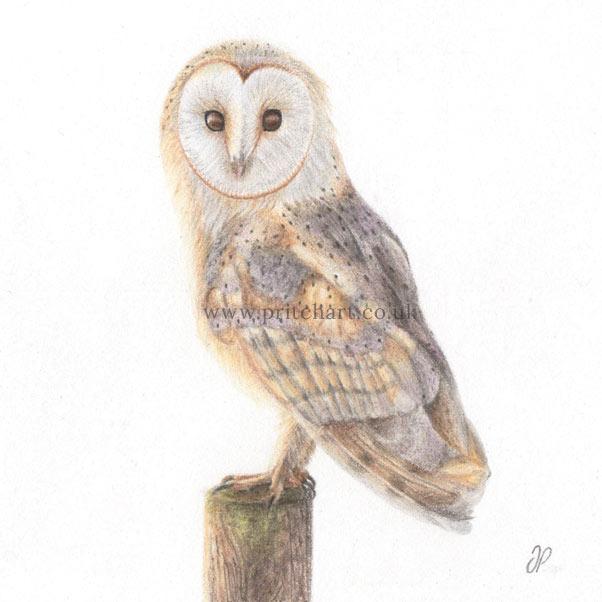 Barn Owl thumbnail 2