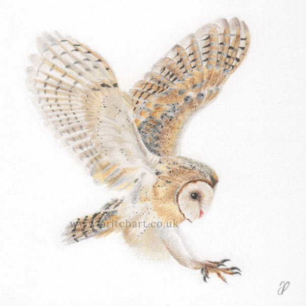 Barn Owl in flight thumbnail 2