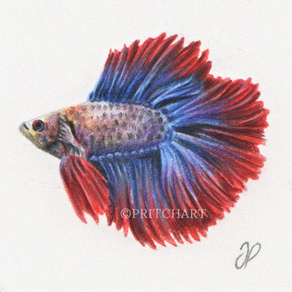 Betta fish thumbnail 2