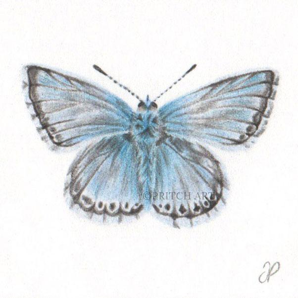 Chalkhill Blue Butterfly thumbnail 2