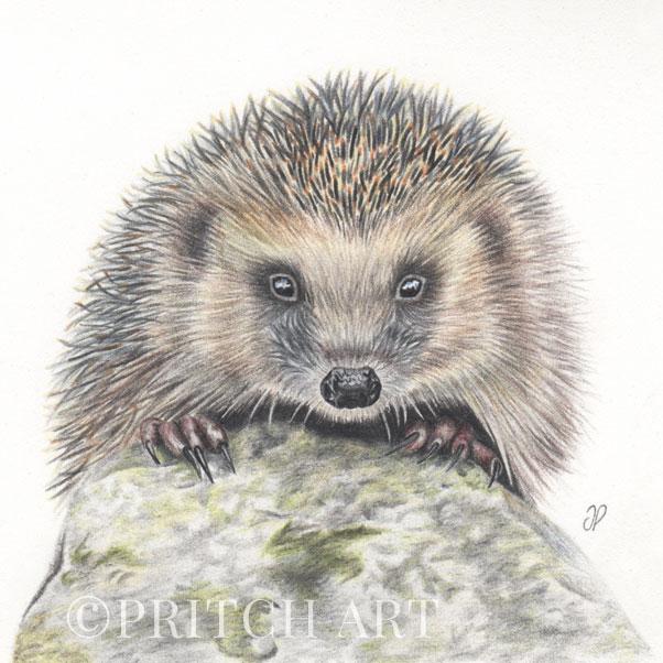 Hedgehog thumbnail 2