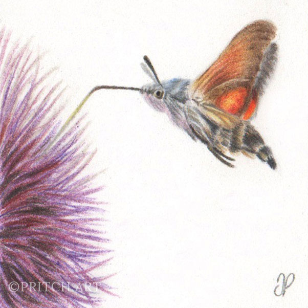 Hummingbird Hawk Moth thumbnail 2