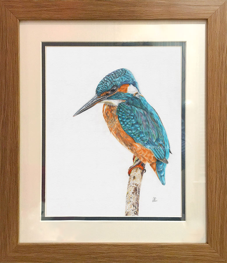 Little Blue - Preview image  British Wildlife Art