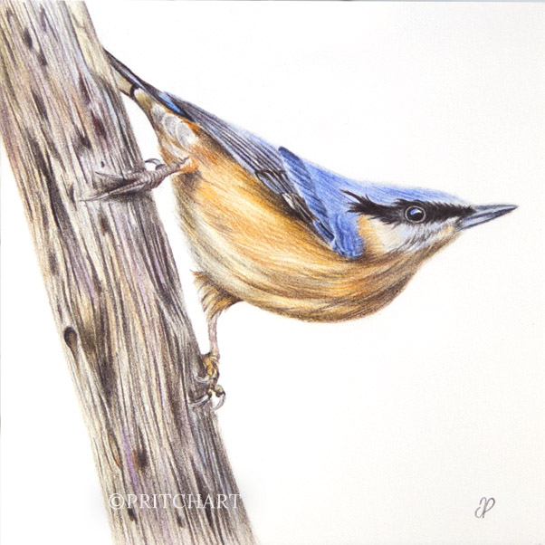 Nuthatch thumbnail 2